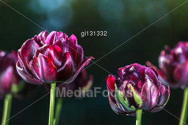 Black Tulips On A Dark Green Background Stock Photo