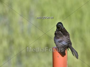 Blackbird On Post In Saskatchewan Canada Summer Stock Photo