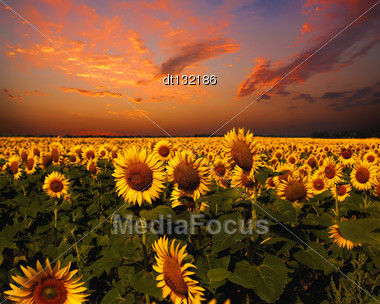 Bloody Skies, Dramatic Landscape With Sunflowers Field Stock Photo