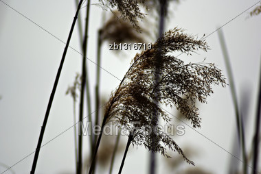 Blooming Reed In High Green Grass At Sunny Summer Day With Forest In Background Stock Photo