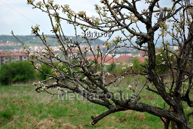 Blooming Tree In Front City Panorama At Spring Sunny Day Stock Photo