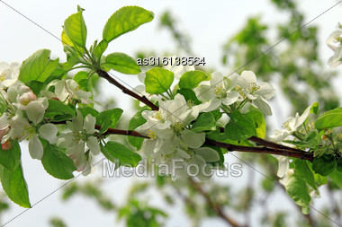 Blossoming Tree Brunch With White Flowers On Bokeh Green Backgroundblossoming Tree Branch Apple With White Flowers Stock Photo