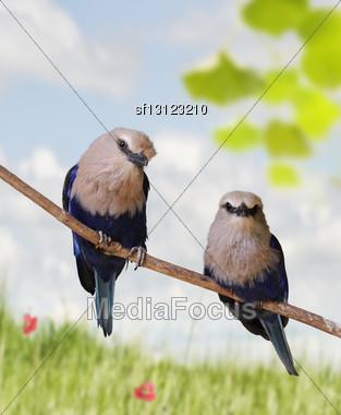 Blue Bellied Roller Birds Perching Stock Photo