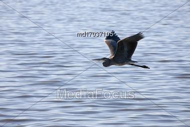 Blue Heron Saskatchewan Prairie Swamp Canada Scenic In Flight Stock Photo