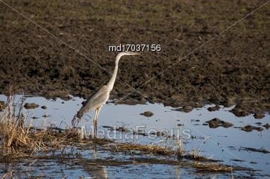 Blue Heron Saskatchewan Prairie Swamp Canada Scenic Stock Photo