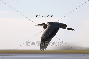 Blue Heron Saskatchewan Prairie Swamp Canada Scenic In Flight Stock Photo