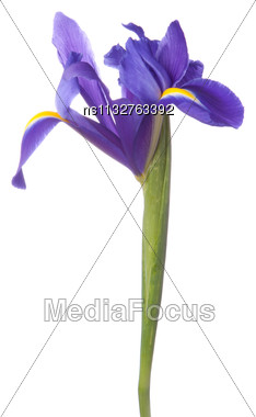 Blue Iris Or Blueflag Flower Isolated On White Background Stock Photo