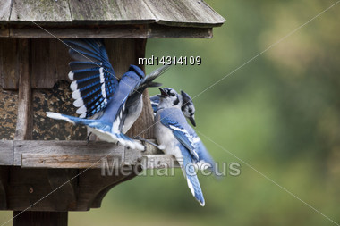 Blue Jay At Feeder In Ontario Canada Stock Photo