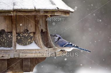 Blue Jay At Bird Feeder Winter Snow Storm Canada Stock Photo