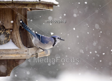 Blue Jay At Bird Feeder Winter Snow Storm Canada Stock Photo