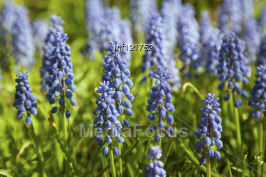 Blue Spring Flower Grape Hyacinth In Sunny Day Stock Photo Mf121752