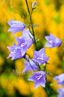 Bluebells In The Garden Outside The City On A Background Of Yellow Loosestrife Stock Photo