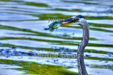 Bluegill Gets Caught By A Great Blue Heron In High Dynamic Range Stock Photo