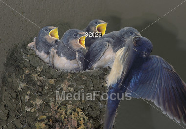 Bluejay Feeding it's Young Stock Photo