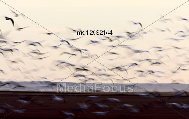 Blurred Image Snow Geese Movement Saskatchewan Canada Stock Photo