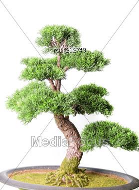 Bonsai Tree Isolated Stock Photo