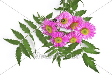 Bouquet Of Pink Flowers And Green Leaves Of Mountain Ash Is Isolated Stock Photo
