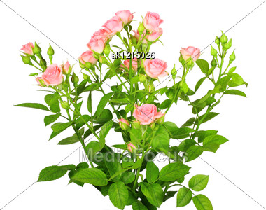 Bouquet Of Pink Roses With Green Leafes Close-up Studio Photography Stock Photo