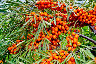 Branch With Berries Of Sea Buckthorn And Green Leaves On A Background Of Grass And Sky Stock Photo