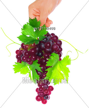 Branch Of Black Grapes Hold In Hand With Green Leaf. Isolated Stock Photo