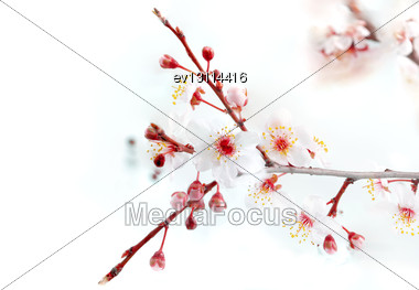 Branch With Blossoms. Stock Photo