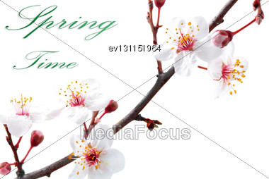 Branch With Blossoms. Isolated On White Background Stock Photo
