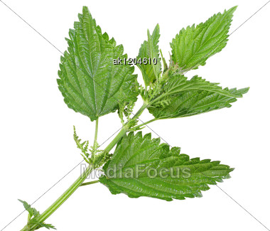 Branch With A Few Green Leafs Of Nettle Close-up Studio Photography Stock Photo