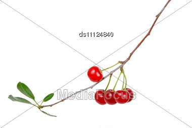 Branch Of Ripe Cherries Stock Photo