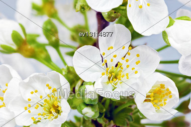 Branch Of Sprig With Blossoms Stock Photo