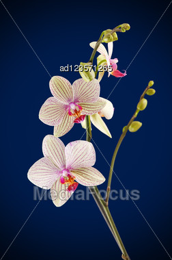 Branch Of Orchid Flower (phalaenopsis) On Blue Background Stock Photo