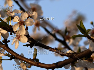 Branches Of White Blooming Tree Lit By Sunset Light Against Blured Clear Blue Sky. Stock Photo