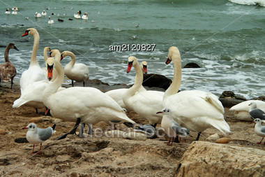 Breeding Colony Of White Swans On A Rocky Shore With Overcast Sky And Ocean Waves. Stock Photo