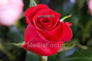 Bright Red Roses Stock Photo