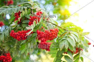 Bright Rowan Berries With Leafs On A Tree Stock Photo