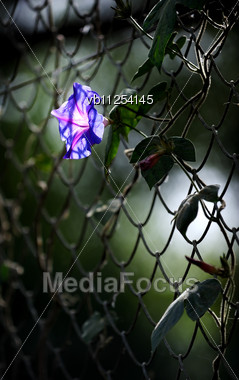 Brightly Illuminate Of The Sun Flower Of Decorative Convolvulus Stock Photo