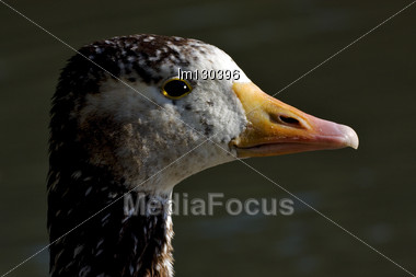 Brown And Grey Duck Whit Black Eye In Buenos Aires Argentina Stock Photo