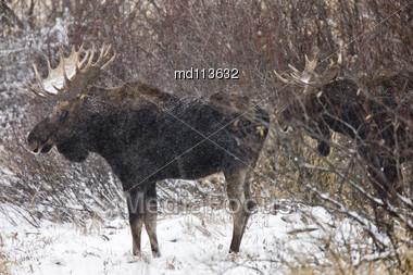 Bull Moose In Winter Saskatchewan Canada Close Up Stock Photo