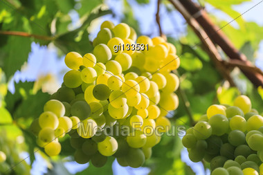Bunch Of Grapes On A Background Of The Sunny Sky Stock Photo
