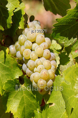 Bunch Of White Grapes On A Vine Foot In A Vineyard Before Harvest Stock Photo