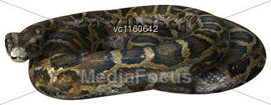 Burmese Python Or Python Bivittatus, One Of The Largest Snakes In The World Stock Photo