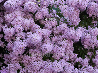 Bush With Lot Of Pink Chrysanthemum Flowers At Sunny Summer Day Stock Photo