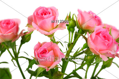 Bush With Pink Roses And Green Leafes Close-up Stock Photo
