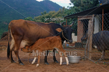 Calf Suckling On Dairy Cow, Tamil Nadu, South India Stock Photo