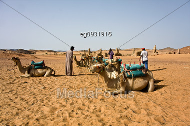 Camel With Their Camels In The Desert Of Nubia, Work Leading To The Tourists Stock Photo