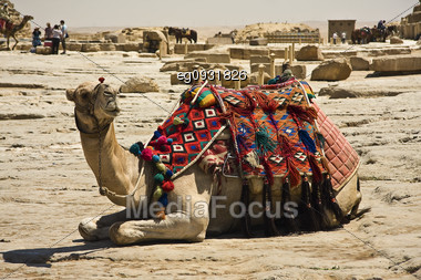 The Camels Abound Everywhere In The Environment Of The Pyramids Of Giza Stock Photo