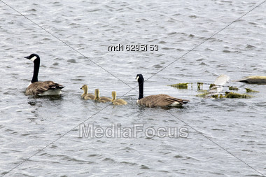 Canada Geese And Babies In A Pond Saskatchewan Stock Photo