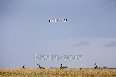 Canada Geese Prairies On A Hill Saskatchewan Stock Photo