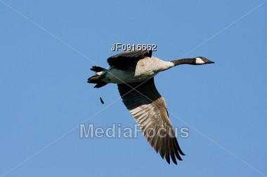 Canadian Goose Flying Stock Photo