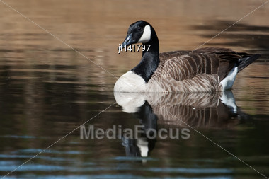 Canadian Goose Swimming In A Small Pond Stock Photo