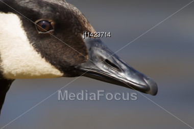 Canadian Goose Swimming In A Small Pond In Soft Focus Stock Photo